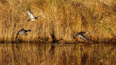 Lori A Cash Royalty-Free and Rights-Managed Images - Trio of Ring-necked Ducks in Flight by Lori A Cash