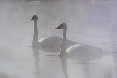 Photograph - Trumpeter Swans at Kelly Warm Spring V by Douglas Wielfaert