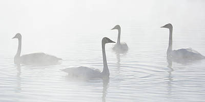 Photograph - Trumpeter Swans At Kelly Warm Spring VI by Douglas Wielfaert