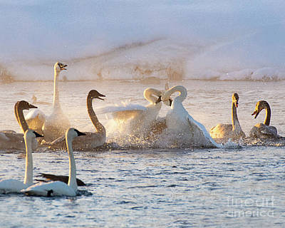 Up Up And Away - Trumpeter Swans Sparring by Dennis Hammer