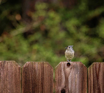 Claude Monet - Tufted Titmouse-Backyard Visitor by Judy Vincent