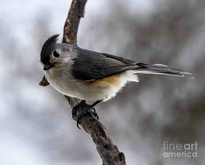 From The Kitchen - Tufted Titmouse Being Cute by Cindy Treger