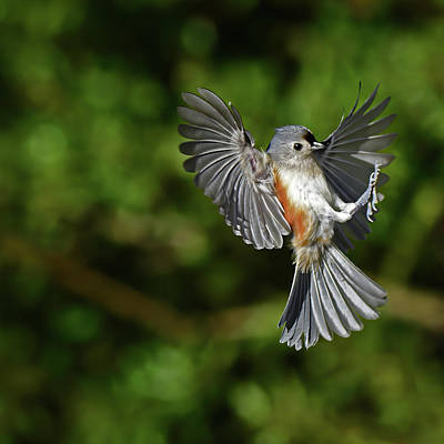 Animals Royalty-Free and Rights-Managed Images - Tufted Titmouse by Stuart Harrison