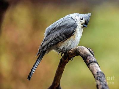 Sean Rights Managed Images - Tufted Titmouse With Head Tilt Royalty-Free Image by Cindy Treger