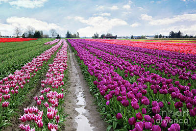 Palm Trees Rights Managed Images - Tulip Fields Royalty-Free Image by Sylvia Cook