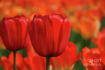 Queen Rights Managed Images - Tulip Intensity Royalty-Free Image by Rachel Cohen