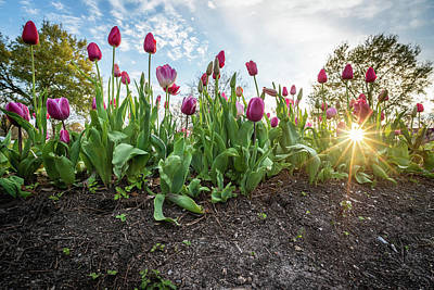 Photograph - Tulips at City Park by Chase This Light Photography