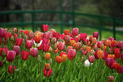 The Who - Tulips by the Monet Bridge by Mary Ann Artz