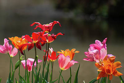 The Rolling Stones - Tulips in Sunlight by Mary Ann Artz