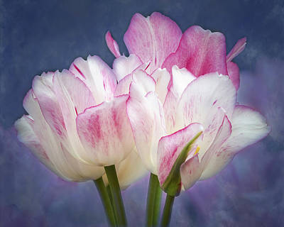 Old Masters - Tulips With Pink Edges by Elvira Peretsman