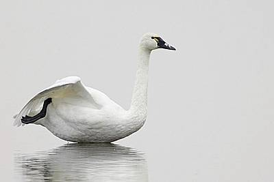 Lori A Cash Royalty-Free and Rights-Managed Images - Tundra Swan at Rest by Lori A Cash