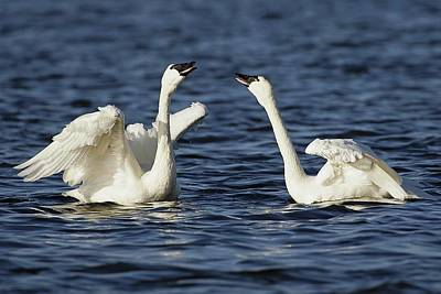 Lori A Cash Royalty-Free and Rights-Managed Images - Tundra Swans Courting by Lori A Cash