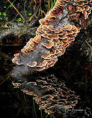 Dan Beauvais Royalty-Free and Rights-Managed Images - Turkey Tails 4511 by Dan Beauvais