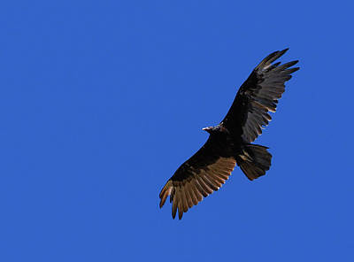 Soap Suds - Turkey Vulture in Flight by Moment of Perception