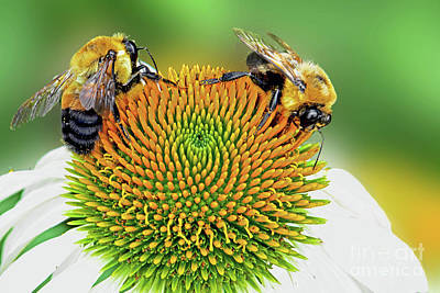 Abstract Stripe Patterns - Two Bees on a White Coneflower by Regina Geoghan