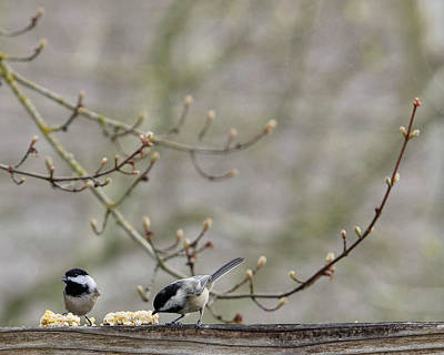 The Rolling Stones Royalty Free Images - Two Chickadees on a Fence Royalty-Free Image by Rebecca Cozart