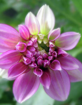Design Pics - Two Colored Garden Dahlia Beauty by Johanna Hurmerinta