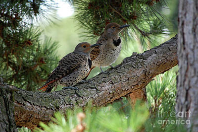 Photograph - Two Flickers on Pine Tree Branch by Rose De Dan