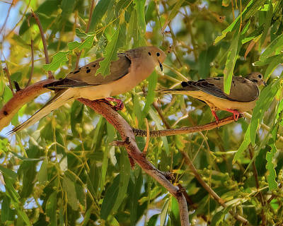 Mark Myhaver Photo Rights Managed Images - Two Mourning Doves h2051 Royalty-Free Image by Mark Myhaver