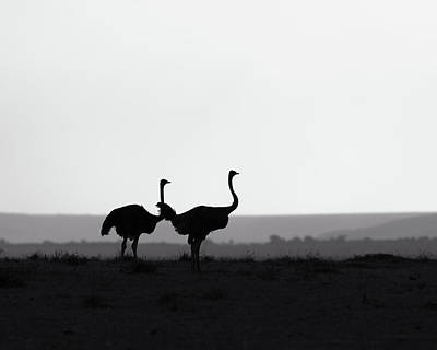 Birds Rights Managed Images - Two ostriches on a ridge - monochrome Royalty-Free Image by Murray Rudd