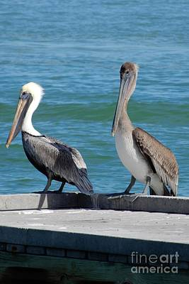 Bath Time Rights Managed Images - Two Pretty Pelicans on Pier Royalty-Free Image by Carol Groenen
