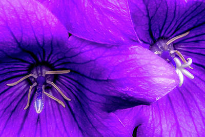 Royalty-Free and Rights-Managed Images - Two Purple Balloon Flowers by Onyonet  Photo Studios