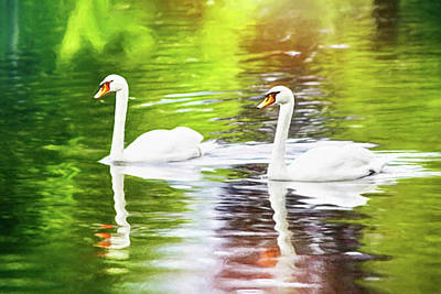 Royalty-Free and Rights-Managed Images - Two Swans A Swimming  by Carol Japp