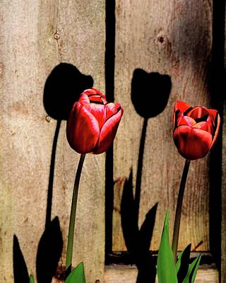 Jerry Sodorff Royalty-Free and Rights-Managed Images - Two Tulips and Shadows by Jerry Sodorff
