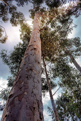 Photograph - Under the Eucalyptus Trees by Alison Frank