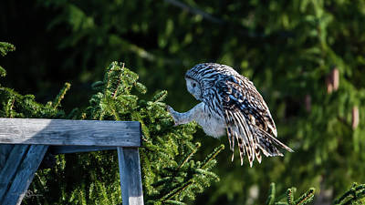 Photograph - Ural owl prepare for landing with sunshine on its back by Torbjorn Swenelius