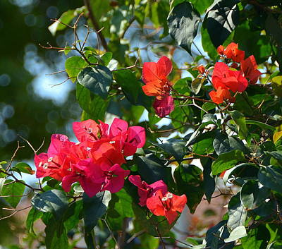 Granger Royalty Free Images - Beautiful Bouganvillea Royalty-Free Image by Carla Parris