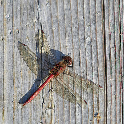 Rights Managed Images - Vagrant darter on gray wood Royalty-Free Image by Jouko Lehto