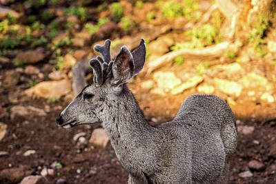 Namaste With Pixels Royalty Free Images - Velvet Mule Deer 001451 Royalty-Free Image by Renny Spencer