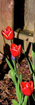Jerry Sodorff Royalty-Free and Rights-Managed Images - Vibrant Red Tulip by Jerry Sodorff