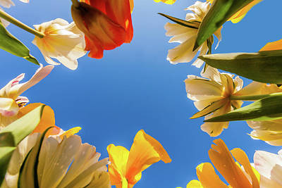 Royalty-Free and Rights-Managed Images - View of Tulips by Andrew Soundarajan