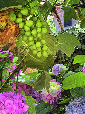 Amy Weiss - Vinho Verde Grapes by Jill Love Photo Art