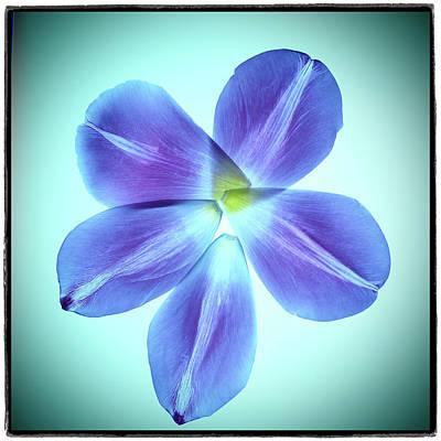 Photograph - Violet tulip petals by Cosmina Lefanto