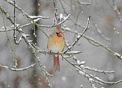 Winter Animals Rights Managed Images - Waiting in the Snow Royalty-Free Image by Tammi Elbert