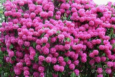 Staff Picks Cortney Herron - Wall of Pink Rhododendrons by Carol Groenen
