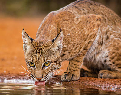 Photograph - Wary  Bobcat by Carol Fox Henrichs