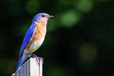 Pasta Al Dente - Watchful Eastern Bluebird by Mary Ann Artz