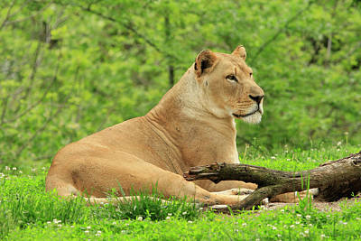 The Rolling Stones Royalty Free Images - Watchful Lion Royalty-Free Image by G Garton