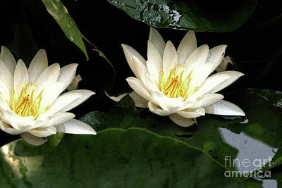 City Lights - Water Lilly Duo by Baggieoldboy