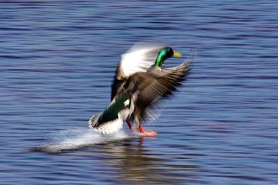 Farmhouse Rights Managed Images - Waterskiing Duck  Royalty-Free Image by Neil R Finlay