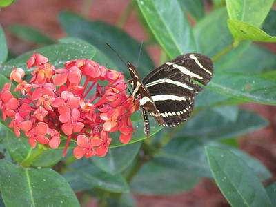 Photograph - Weathered Zebra Winged Butterfly on Orange Ixora Flower by Ian Sands