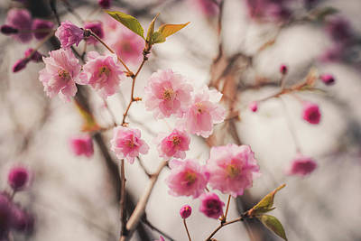 Photograph - Weeping Cherry by Jessica Nelson