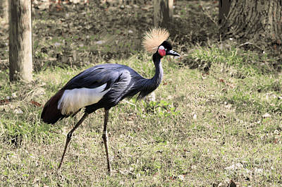 Modern Sophistication Line Drawings Royalty Free Images - West African Crowned Crane Royalty-Free Image by Diann Fisher