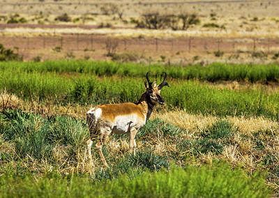 Animals Royalty-Free and Rights-Managed Images - West Texas Pronghorn 001143 by Renny Spencer