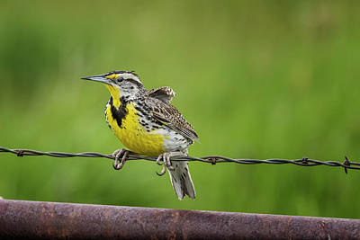 Animals Royalty-Free and Rights-Managed Images - Western Meadowlark Hanging on Tight by Belinda Greb