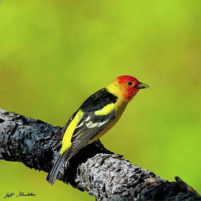 Photograph - Western Tanager by Jeff Goulden